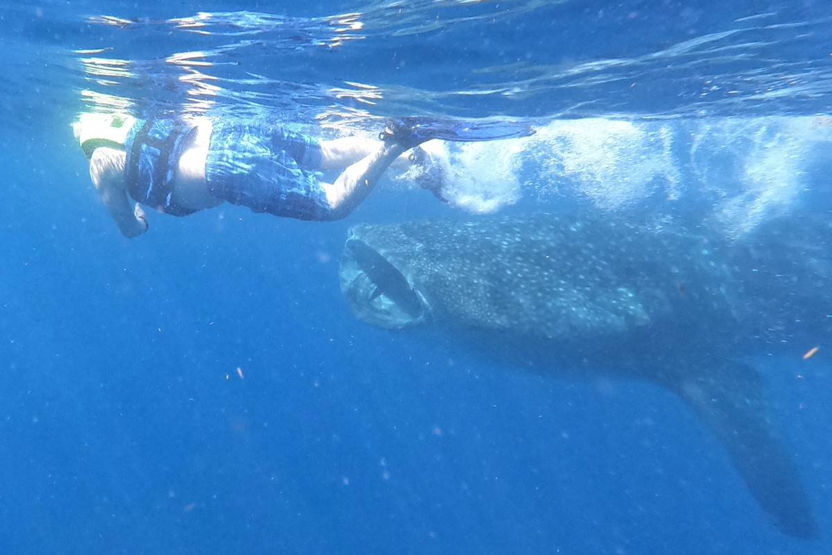 Photo of the author in front of a whale shark with mouth open